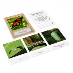 Levenscyclus van een vlinder, kaarten in tray