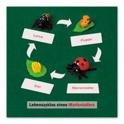Lebenszyklus Marienkäfer: Kontrollkarte