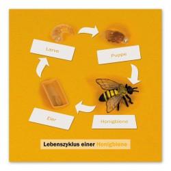 Lebenszyklus Biene: Kontrollkarte