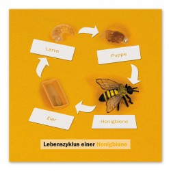 Levenscyclus honingbij, contrôlekaart